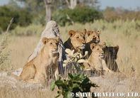 DSC_ライオン家族