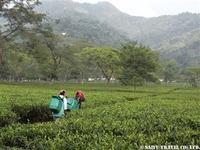 ダージリン紅茶畑