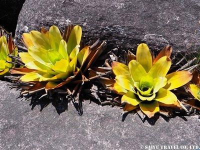 食虫植物ブロッキニア・リドゥクタ