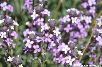 ■アレリの花 (6)