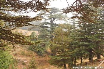 レバノン杉