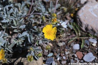 KW2A1728(Ranunculus キンポウゲ科 キンポウゲ属)