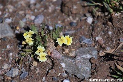 KW2A1734(Chorispora コリスポラ  アブラナ科)