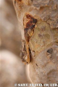 乳香の樹液