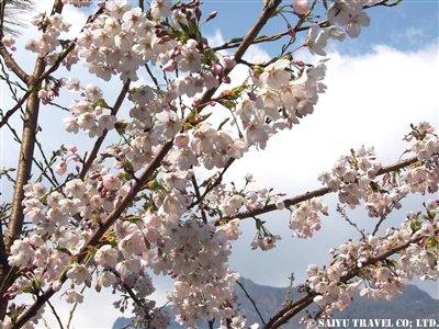 P4030516-1 桜、タドコシ→チョブルンより_nakamura-y