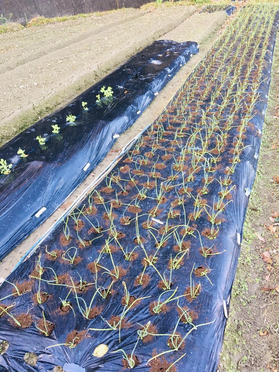 菜園 玉ねぎの施肥 Diy 擁壁塗装 Sassyの今日この頃