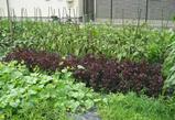 箕面市の野菜畑 なすび