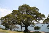 シドニーの大木