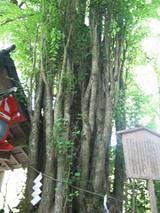 桂 ご神木
