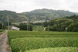 無農薬栽培 緑茶