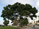 アメリカ サンタモニカにあった樹木