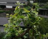柿の木の新芽