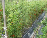 箕面市の野菜畑 トマト