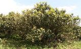大分の枇杷の葉1