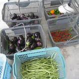 収穫できた野菜