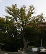道後温泉の駐車場にある大木