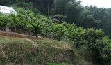 柿の木と枇杷の木