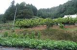 家庭菜園と柿木