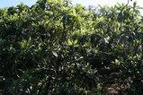 長崎の枇杷葉