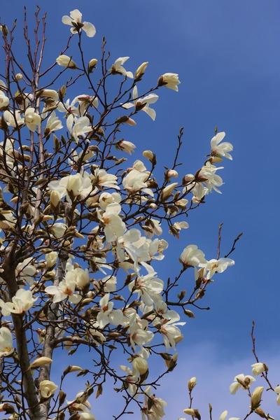 コブシ咲く春