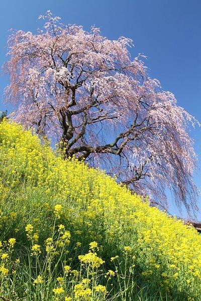 春爛漫(三春方面桜巡りツアー1)