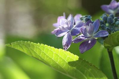 そろそろ終わりの紫陽花②
