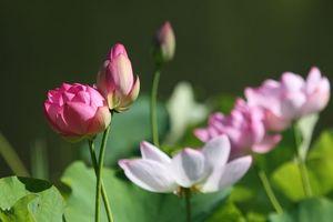 ハスの花の群生