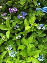 iPhoneで撮影した庭の紫陽花、結構綺麗に撮れます(笑)。