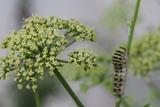 アゲハ蝶の幼虫