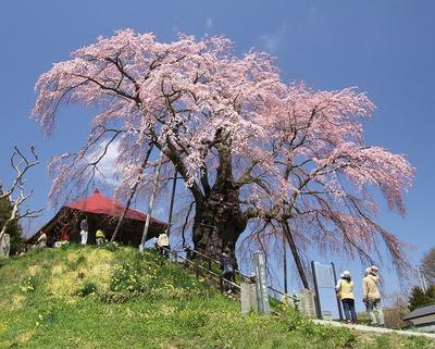 桜・満開1