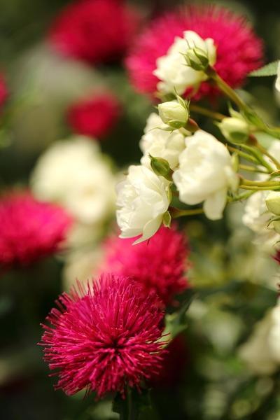 薔薇の園にて