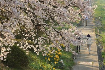 夏井千本桜5