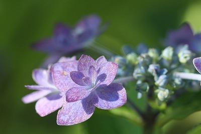 そろそろ終わりの紫陽花①