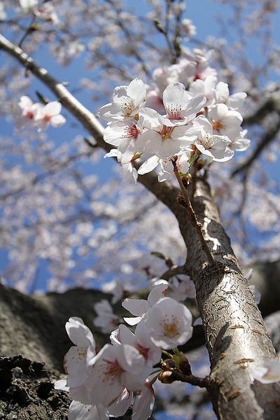 桜は満開!