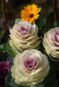 葉牡丹の花言葉は、調べたら「祝福」