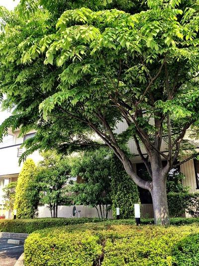 当院のシンボルツリーの欅
