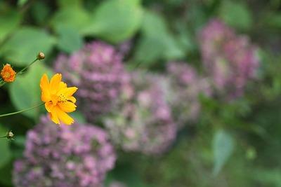 キバナコスモスと紫陽花?・・・2