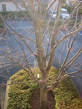 落葉樹・欅②