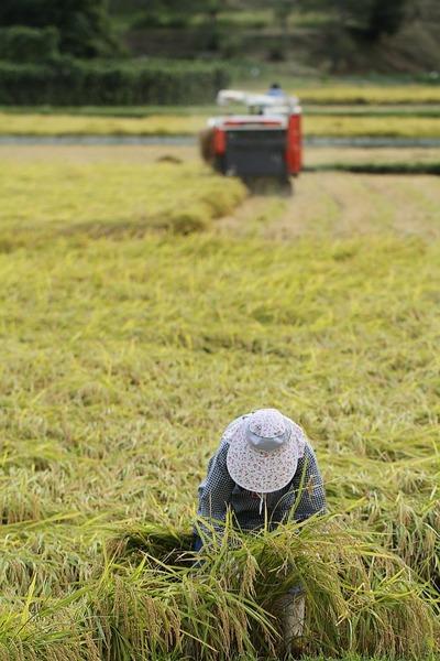 稲刈りの季節2