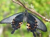アゲハ蝶の羽化4