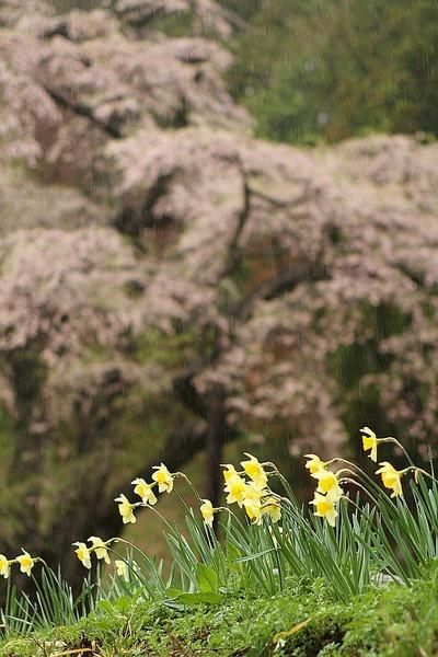雨の桜撮影1