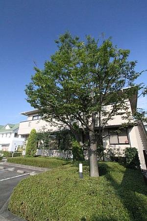 当院のシンボルツリー・欅