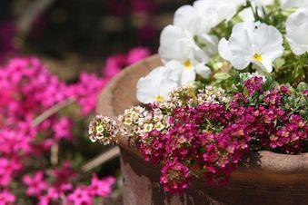 春らしい庭の寄せ植え