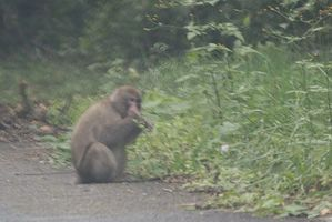 ナンと、南相馬市に猿が・・・(@_@)