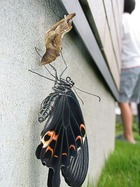 アゲハ蝶の羽化1
