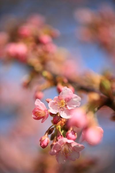 勿来の河津桜3