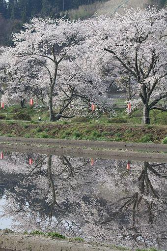田んぼに映る桜