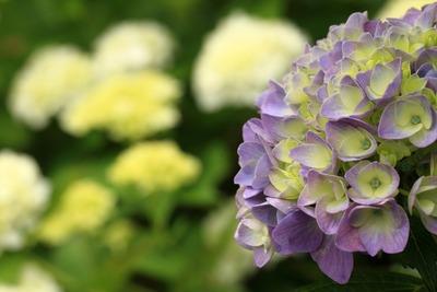 末次の紫陽花