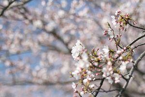 桜咲く・・・・2009年の桜