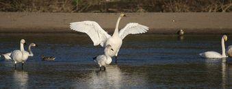 夏井川の白鳥2